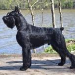 Ризеншнауцер щенки чёрного окраса, Иркутск