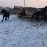 Срочно продам лошадь полутяжеловоз, Иркутск