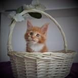 Продается шикарный котик Мейкун!, Иркутск