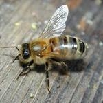 Пчелопакеты с бесплатной доставкой по всей России, Иркутск