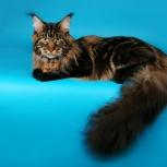 Котята Мейн куны из питомника Golden Glory, Иркутск